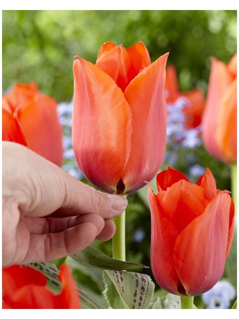 Тюльпан Каса Гранде, грейга (10 штук)