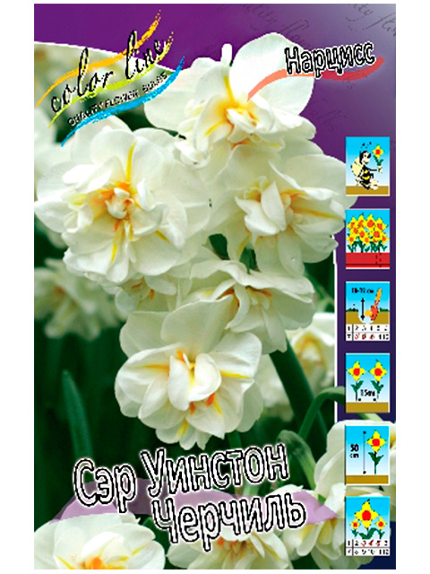 Нарцисс Сэр Уинстон Черчиль (махровый многоцветковый), 10 штук