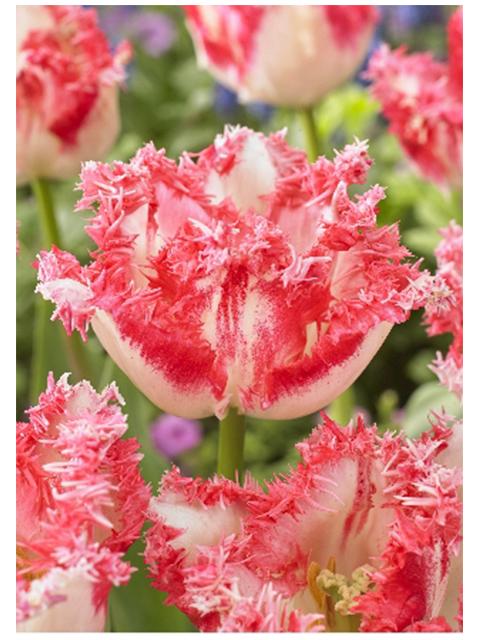 Тюльпан Неглиже бахромчатый (8 штук)
